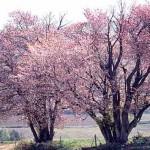 夫婦桜:今井秀春氏撮影